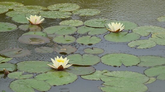 WATER LILIES IN THE RAIN! by Marilyn Grimble