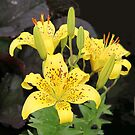 Yellow Lily Threesome by vette