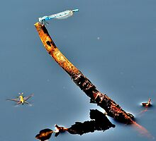 Damsonfly and Water Boatman by NaturesEarth