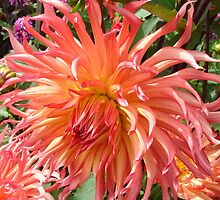 Peach-colored Dahlia by Mary Ellen Tuite Photography
