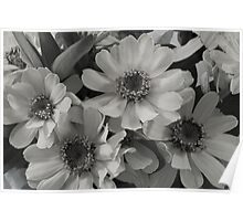 Yellow Brown Eyed Susan In Black And White  Poster