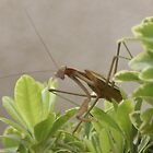 's Up?  Praying Mantis, My Garen; La Mirada, CA USA by leih2008