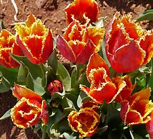 Orange and Yellow Tulips by Margaret  Hyde