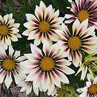Gaillardia Flowers by Caren