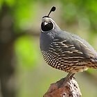 Cool Quail by SB  Sullivan