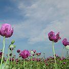 Field of poppies by Ana Belaj