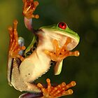 Red-eyed treefrog (Agalychnis callidryas) by REPTILICIOUS