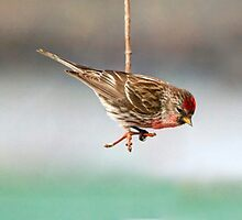Common Redpoll by littlecritters