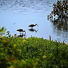 Wading Black Ibis by Sharon Woerner