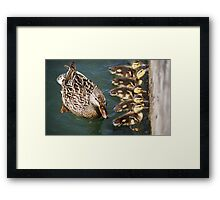 Getting Your Ducks In A Row.... Framed Print