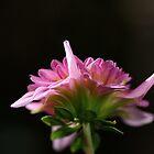 flower-dahlia-pink side by Joy Watson