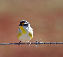 Fence Sitter by kurrawinya