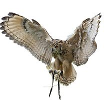 Exquisite Owl  by John Thurgood