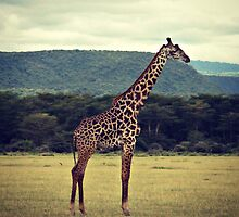 Stiff Sentinel ( Giraffe in Profile ) by emiliewho