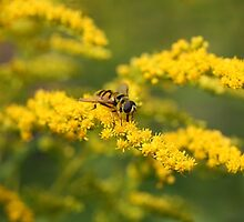 hoverfly feeding by markspics