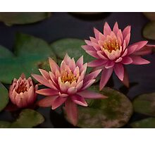 Trio of pink lilies Photographic Print