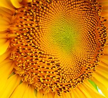 Sunflower Center 8 by Kevin J Cooper