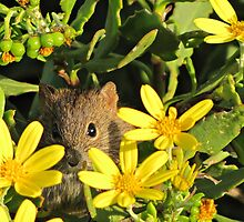 Striped mouse peeking from a daisybush by Lee Jones