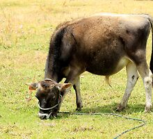 Calf in a Pasture by rhamm