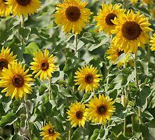 field of sunflowers by mrivserg