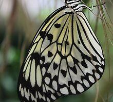 Paper Kite Butterfly by jmethe