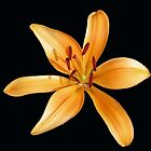 Dancing Orange Lily on Dark Background by kathrynsgallery