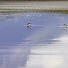 A Pair Of American Avocets by Thomas Young