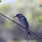 Honeyeater by Nicky South