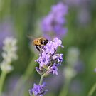 Lavender and a Bumble Bee by mlleruta
