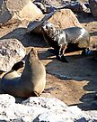 Seals, Cape Cross, Namibia by Margaret  Hyde