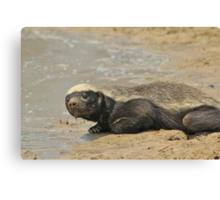 Honey Badger -  Canvas Print