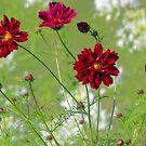 Red Cosmos - Summer Garden by T.J. Martin