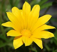 Bright Yellow Gazania Flower by taiche