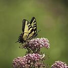 Eastern Tiger Swallowtail by Thomas Young