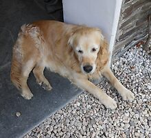 Meet Millie, The Golden Retriever by BlueMoonRose