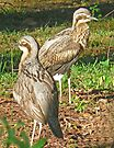 A pair of Bush Stone-Curlews by Graeme  Hyde