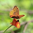 Great Spangled Fritillary Butterfly by hummingbirds