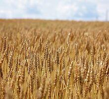 Fields of Gold by AbigailJoy
