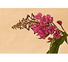 Fire Weed Photographic Print