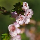 Chamelaucium (2) by kalaryder
