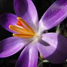 Crocus by trish725