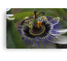 Front View of Beautiful Passiflora Flower Canvas Print