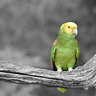 Amazon Parrot by rosaliemcm