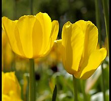 Spring Time Tulips by tvlgoddess