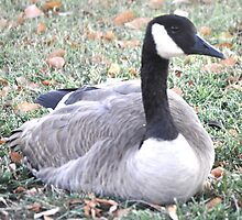 CANADIAN GOOSE RESTING ON GOLF COURSE-PALM DESERT by JAYMILO