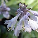 Hosta in Bloom by Linda  Makiej