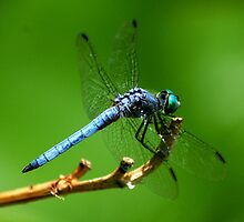 Blue dragon by loiteke