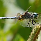Blue Dasher by William Brennan