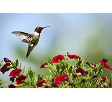 Hummingbird Frolic with Flowers Photographic Print