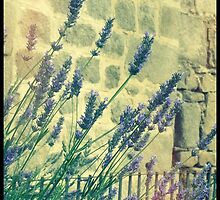 Lavender in Avila Spain by Janine Barr